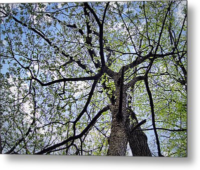 Dogwood Canopy Metal Print by Cricket Hackmann