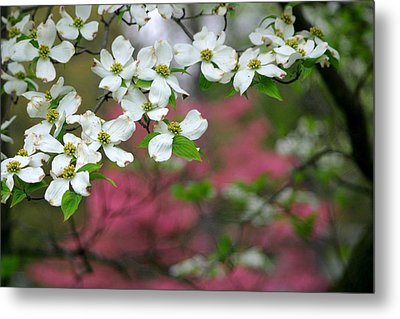 Dogwood Days Metal Print