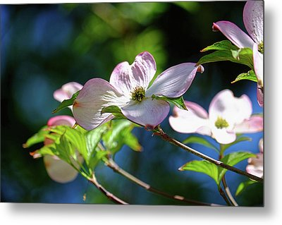 Dogwood Flowers Metal Print