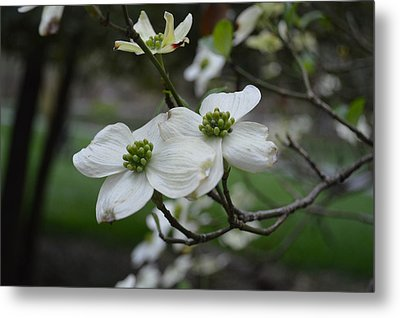 Metal Print featuring the photograph Dogwood by Linda Geiger