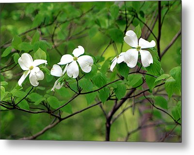Dogwoods Metal Print by Deborah  Crew-Johnson