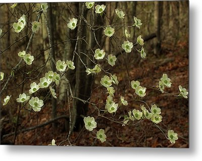 Metal Print featuring the photograph Dogwoods In The Spring by Mike Eingle