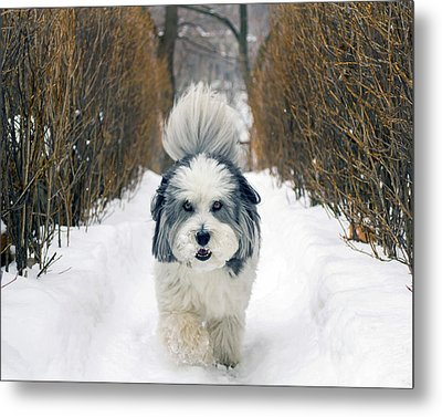 Metal Print featuring the photograph Doing The Dog Walk by Keith Armstrong