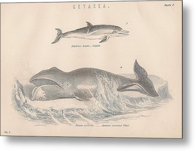 Dolphin And Greenland Whale Metal Print by Victorian Engraver