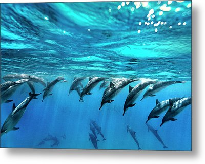 Dolphin Dive Metal Print by Sean Davey