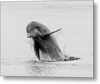 Dolphin Out The Water Metal Print