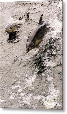 Dolphins Metal Print by Werner Padarin