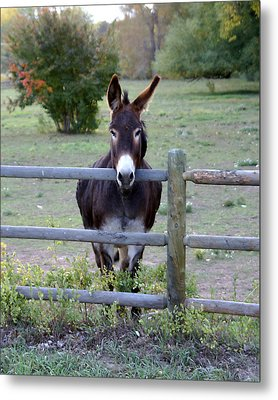Donkey At The Fence Metal Print by D Winston