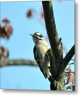 Downy Woodpecker Metal Print by Kathy Eickenberg