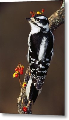 Downy Woodpecker On Tree Branch Metal Print by Panoramic Images