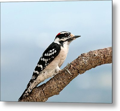 Metal Print featuring the photograph Downy Woodpecker Spring 2016 1 by Lara Ellis