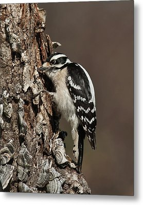 Metal Print featuring the photograph Downy Woodpecker's Secret Stash by Lara Ellis