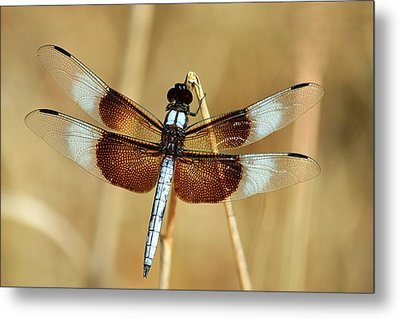 Metal Print featuring the photograph Dragonfly On Reed by Sheila Brown