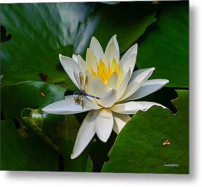 Dragonfly On Waterlily  Metal Print