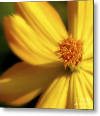 Dreamy Coreopsis Metal Print by Jeannie Burleson