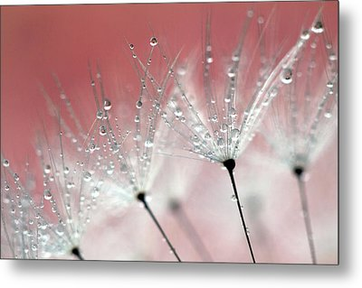 Drops On Dandelion Metal Print by Kees Smans