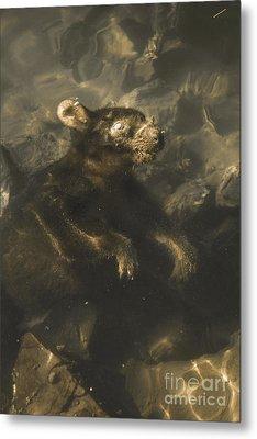 Drowned Tasmanian Possum Metal Print by Jorgo Photography - Wall Art Gallery