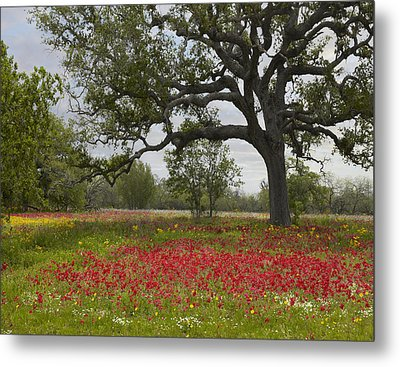 Drummonds Phlox Meadow Near Leming Texas Metal Print