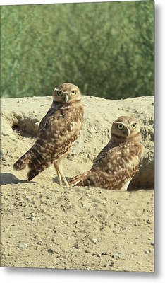Dual Burrowing Owls, Athene Cunicularia Metal Print by Renee Sinatra