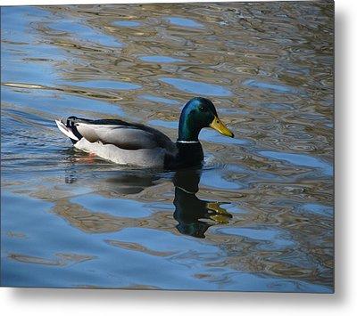Duck Mallard Duck Metal Print by Hasani Blue