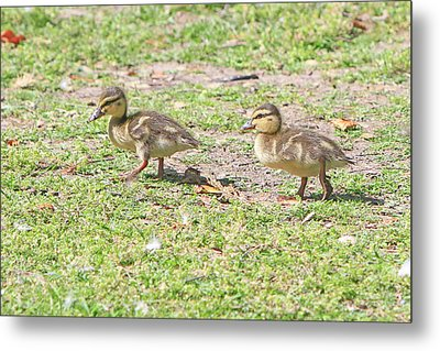 Ducklings On The Grass Metal Print by Shoal Hollingsworth