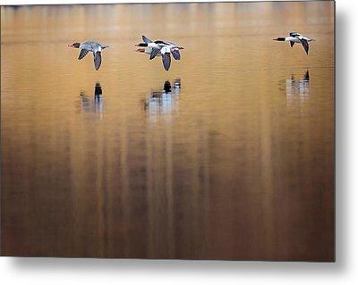 Ducks In Flight Metal Print by Bill Wakeley