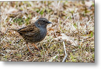 Metal Print featuring the photograph Dunnock by Torbjorn Swenelius