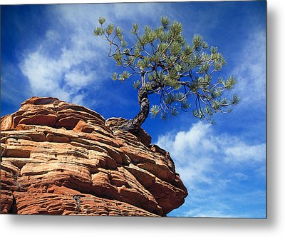 Dwarf Pine And Sandstone Zion Utah Metal Print by Utah Images