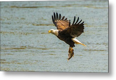 Eagle Departing With Prize Close-up Metal Print