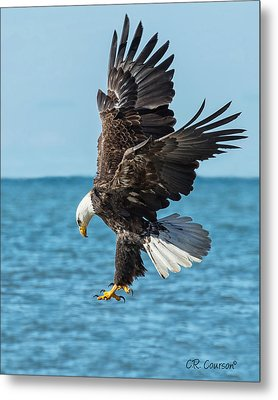 Eagle Dive Metal Print by CR  Courson