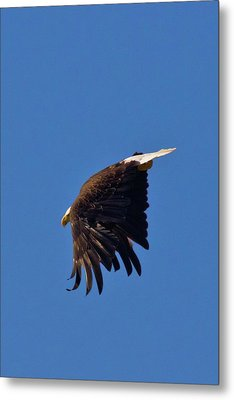 Metal Print featuring the photograph Eagle Dive by Linda Unger