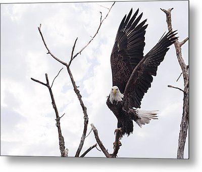 Eagle Metal Print by Everet Regal