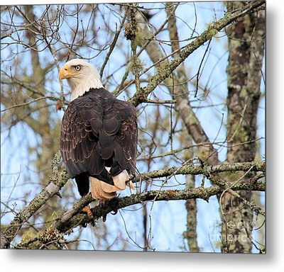 Eagle Eye On You  Metal Print by Debbie Stahre