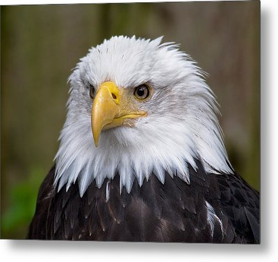 Eagle In Ketchikan Alaska Metal Print