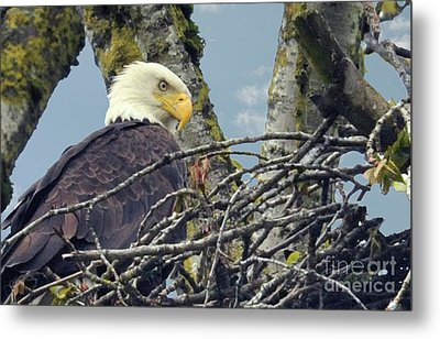 Metal Print featuring the photograph Eagle In Nest by Rod Wiens
