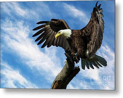 Eagle Landing On A Branch Metal Print