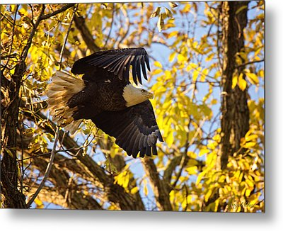 Metal Print featuring the photograph Eagle Launch by Angel Cher