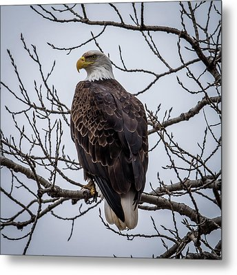 Metal Print featuring the photograph Eagle Perched by Paul Freidlund