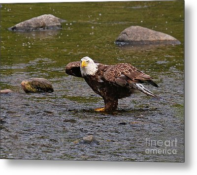 Metal Print featuring the photograph Eagle Prepares For Take-off by Debbie Stahre