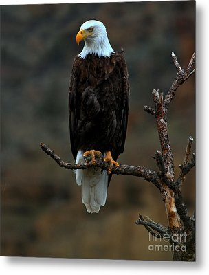 Eagle Scout Metal Print by Adam Jewell