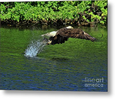 Metal Print featuring the photograph Eagle Series Fish Catch by Deborah Benoit