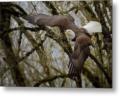 Eagle Take Off Metal Print