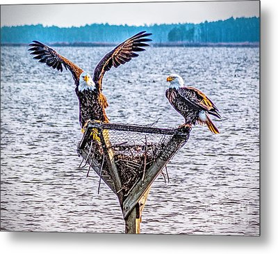 Metal Print featuring the photograph Eagles In Blackwater Refuge by Nick Zelinsky