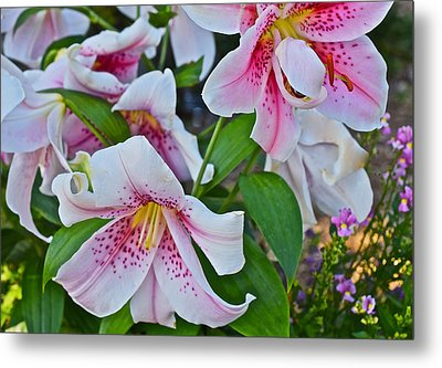 Early August Tumble Of Lilies Metal Print by Janis Nussbaum Senungetuk