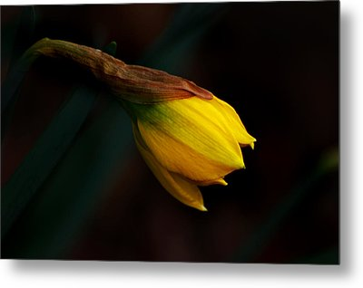 Early Daffodil Metal Print