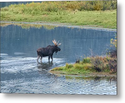 Early Morning Crossing In Grand Teton Metal Print by Sandra Bronstein