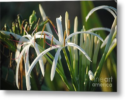 Early Morning Lily Metal Print