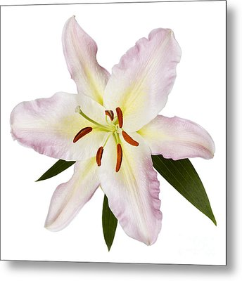 Easter Lilly 1 Metal Print by Tony Cordoza
