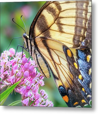 Easter Tiger Swallowtail Butterfly Metal Print