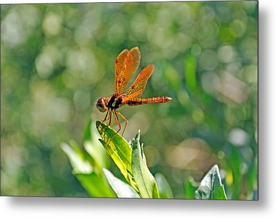 Eastern Amber Wing Dragonfly Metal Print by Kenneth Albin